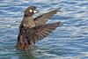 Harlequin Duck, St Paul Island, Aleutians West, Alaska by Terathopius
