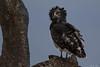 Black-breasted Snake Eagle by jjsmit