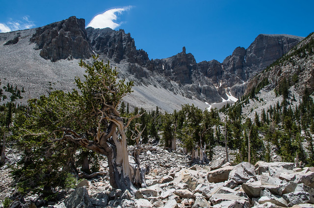 Bristlecone Pine forest just under Wheeler Peak. Thanks to their dense, finely-grained wood and their adaption to high alpine environments, the Great Basin Bristlecone Pine (Pinus longaeva) can persist for thousands of years, often with only a branch or t
