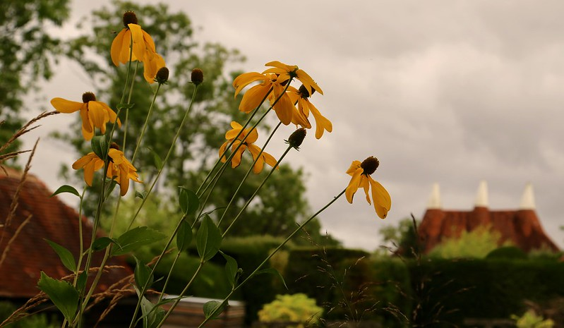 THE BEAUTY OF PLANTS - Rudbeckia and Grasses in the Nursery at Great Dixter - September, 2016