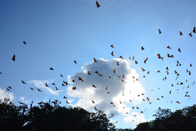 Flying foxes of Riung (Flores, Indonesia 2016)