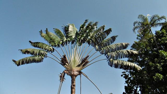 P1010159- El arbol del viajero. Musa x paradisiaca. Tronco no leñoso.