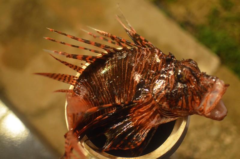 lionfish head