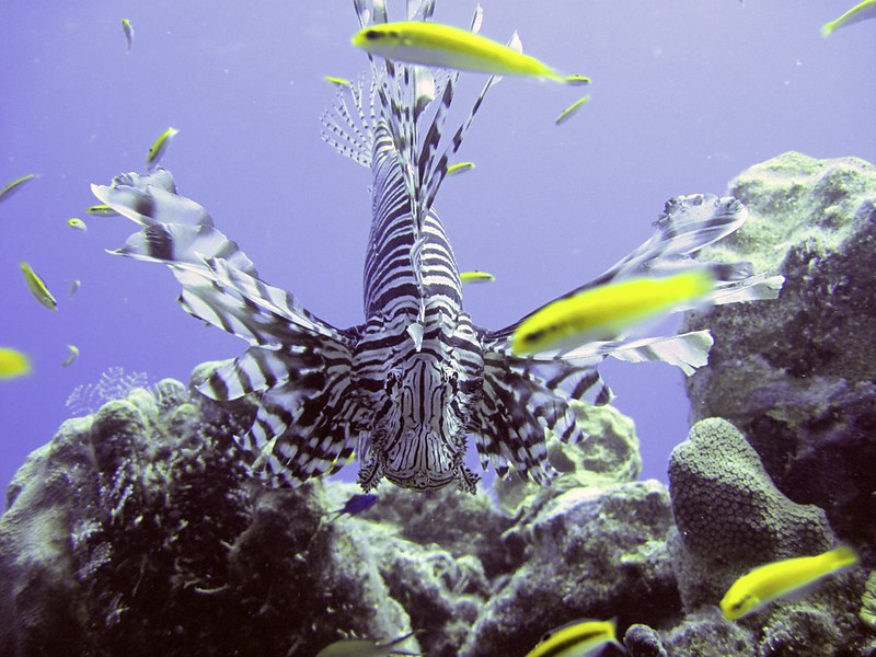 St. Croix Lionfish munching out of fish