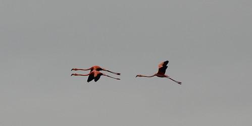 Красный фламинго, Phoenicopterus ruber, American (Caribbean) Flamingo | by Oleg Nomad