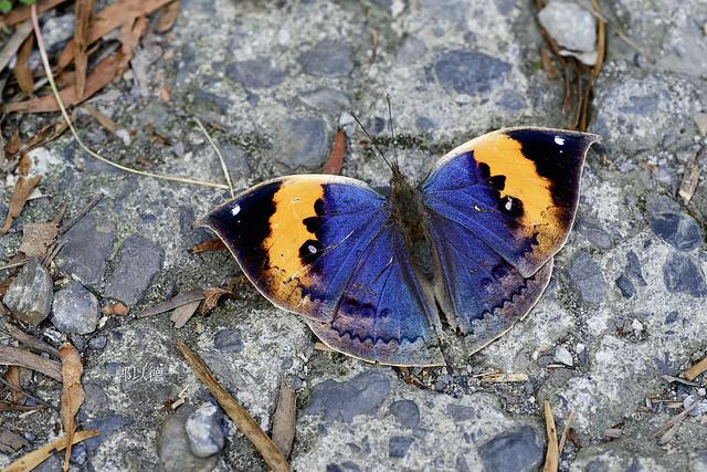 _MAR9779枯葉蝶(枯葉蝶)Kallima inachis formosana(雌)