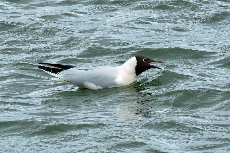 Black-headed Gull - Chroicocephalus ridibundus