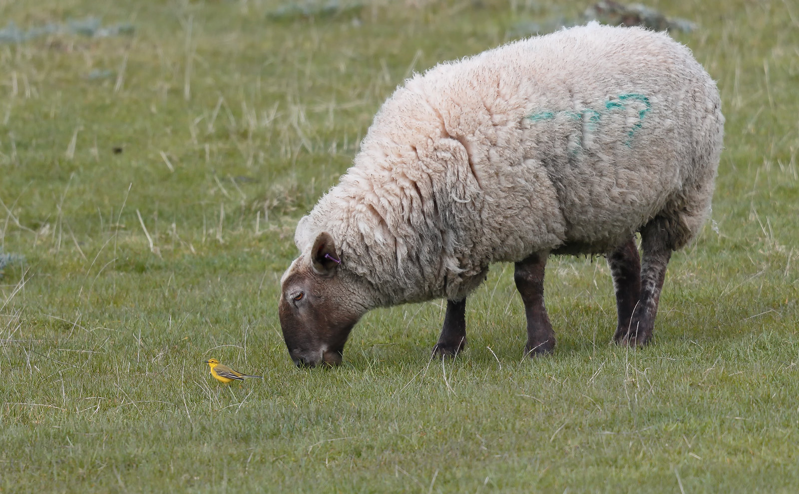 Sheep and Yellow Wagtail
