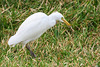 Cattle egret (Bubulcus ibis), Kololi, The Gambia by Frans.Sellies
