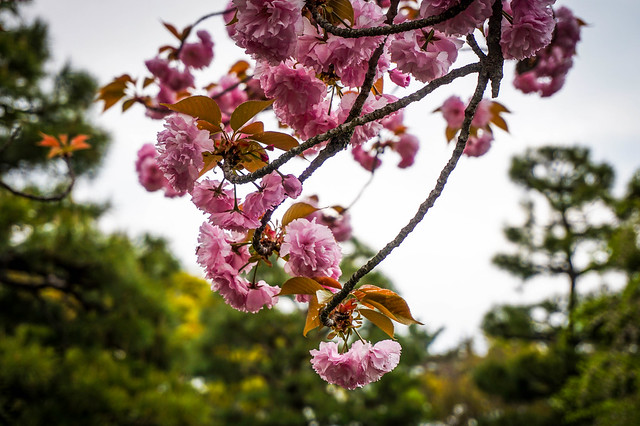 Double cherry blossoms