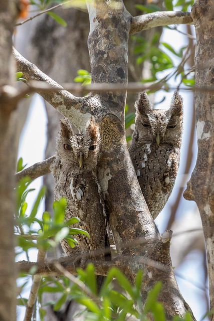 Pacific Screech Owls, Costa Rica. Another view not cropped so tightly.