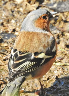 Chaffinch Foraging for Seeds - Thornley Hide | by Gilli8888