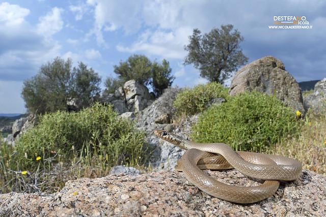 Dwarf snake