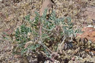 Astragalus malacus 2016.5.2.1   by geodesert