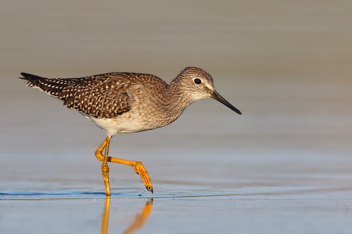 Lesser Yellowlegs | by isaacgrant