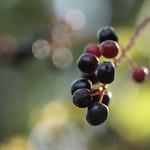red fruit, black fruit/赤い実、黒い実