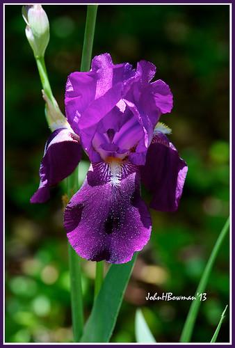 flowers home virginia purple april irises canon70200l 2013 chesterfieldcounty april2013 surreywood