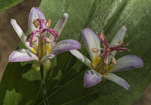 Tricyrtis 2 | by Don McClane