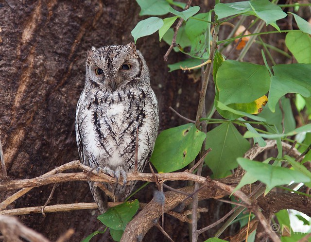 African scops owl, 16 cm only