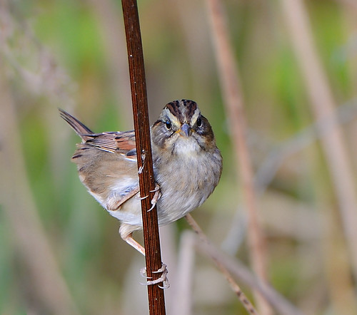 game bird nikon friend state pennsylvania feather sparrow swamp lands 500mm nationalgeographic feathered 500mmf4 d7000 pastategamelands