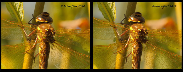 Brown Hawker close-up - 3d cross-view