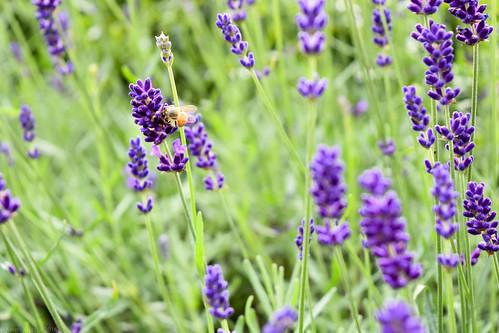 Lavender Bees | by Aaron Myszka