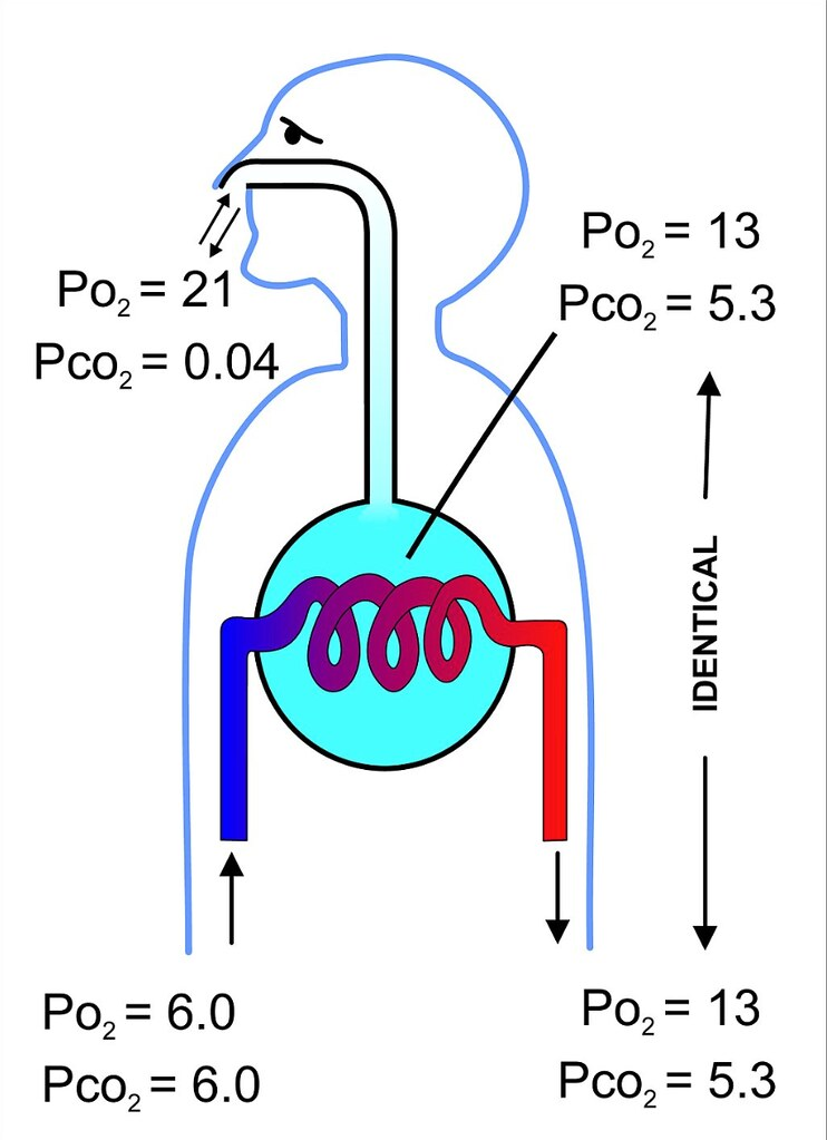 diagram of gas exchange in mammalian lungs | by chic bee