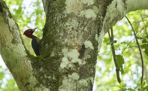 Campephilus robustus // Robust woodpecker //  Pica-pau-rei | by Giselle Mangini