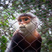 Grey-shanked Douc Langur - Photo (c) Chris Goldberg, some rights reserved (CC BY-NC)
