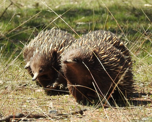 Echidnas on the march