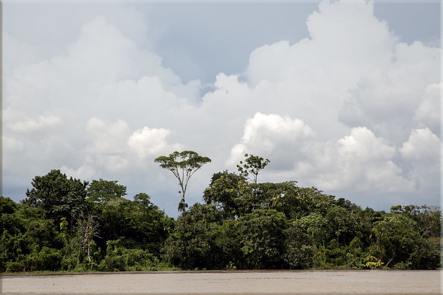 Ceiba Trees in the Amazon Rainforest