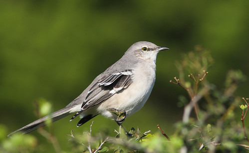 Northern Mockingbird | by Wade Strickland
