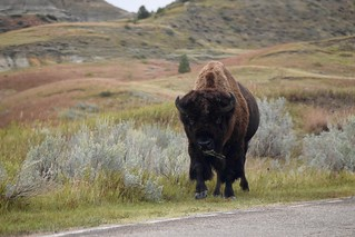 Bison in Theodore Roosevelt National Park | by CorporateRunaways