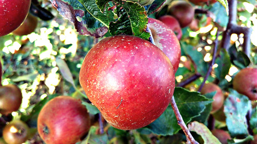 Apple day 2016-apple3 | by grow_bradford