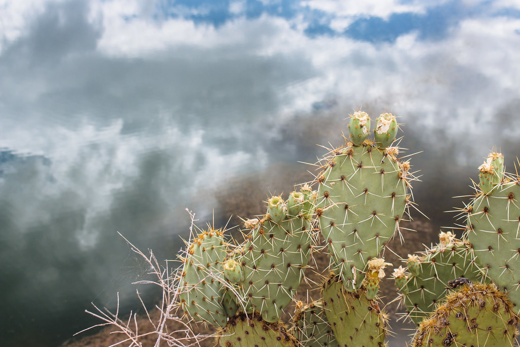 Prickly pear pads grow in front of the still waters of a pond on which are reflected clouds and a blue sky