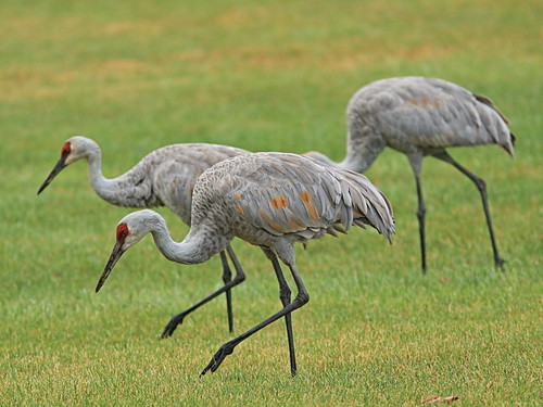 Sandhill Cranes 20161001