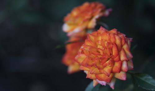 rose flower portland garden pacificnorthwest rain cloudy macro