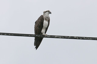 Eastern Osprey | by Insequent