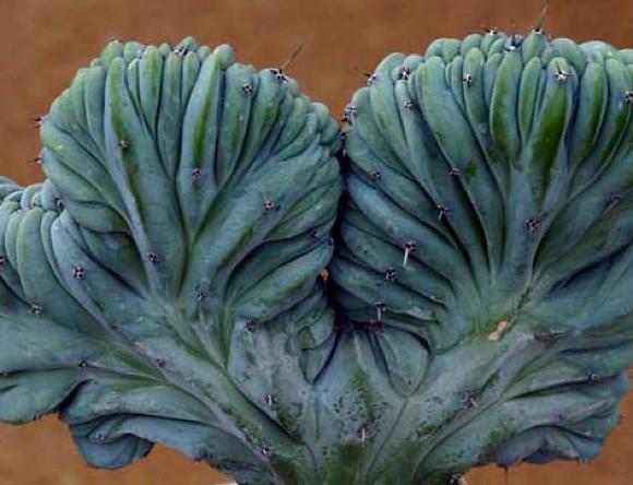 Myrtillocactus geometrizans - crested form