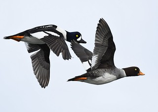 Barrow's Goldeneye pair | by Fraser Valley Birding