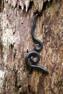 Millipede - Chris Chadwick