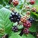 berries 246/366 by auroradawn61