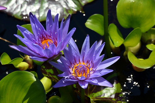 Purple Pond Flowers | by pmorris73