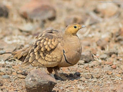 Chestnut-bellied Sandgrouse (close-up)