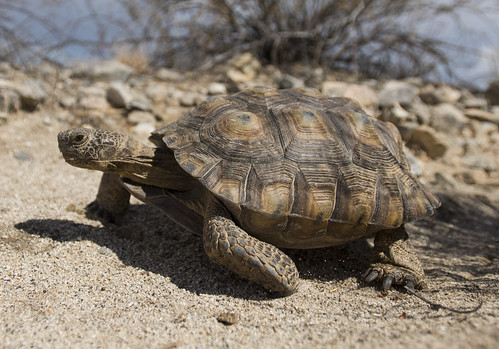 Desert tortoise walking in the Pinto Basin | by Joshua Tree National Park