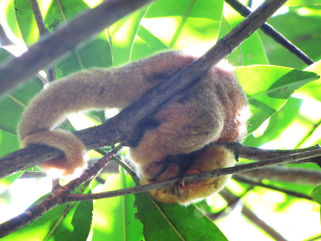 Silky Anteater in the Mangroves of Damas Island