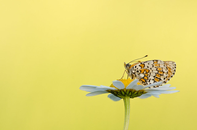 Melitaea cinxia wallpaper