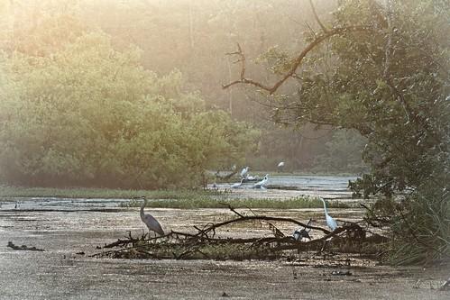 nature water birds landscape louisiana swamp blueheron egrets laplace canonef70300mmf4556isusm mrgreenjeans gaylon 165mm swampscene peavinerd frenier gaylonkeeling
