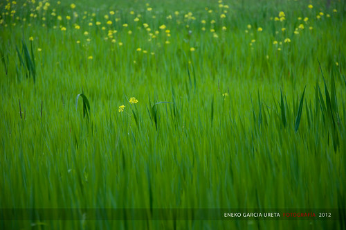 YELLOW SPOTS ON GREEN | by Eneko Garcia