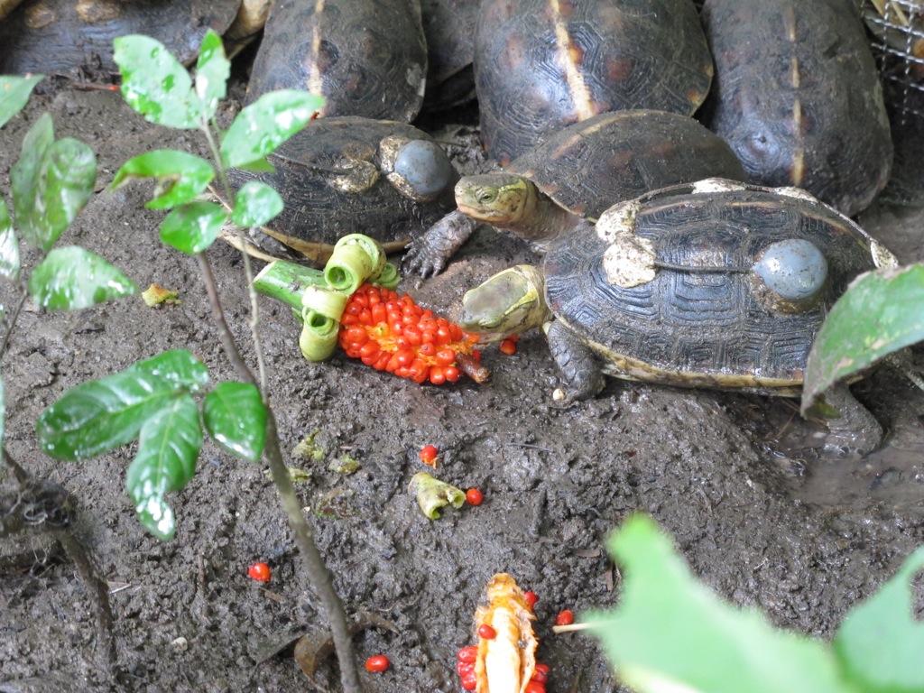 收容中心裡的食蛇龜吃著姑婆芋種子大快朵頤,推測這應是牠們喜愛的食物之一。攝影:楊茵洳